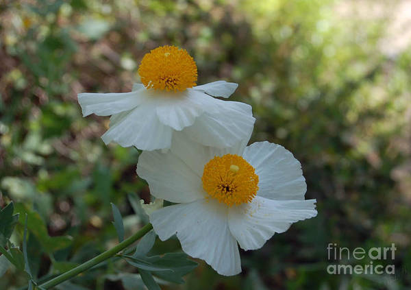 White Prickly Poppy Poster