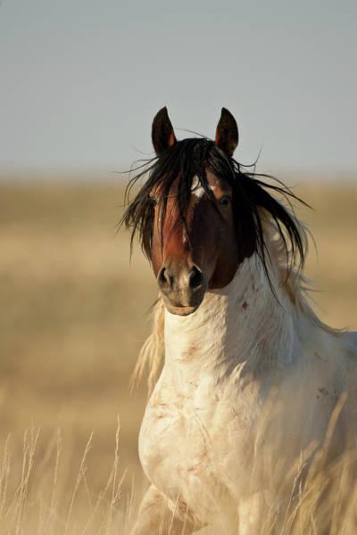 Wild Mustang Band Stallion Poster