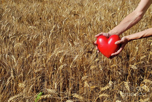 Woman In Wheat Field Holding Heart Shaped Object Poster