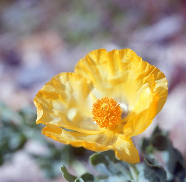 Yellow Horned Poppy  Poster