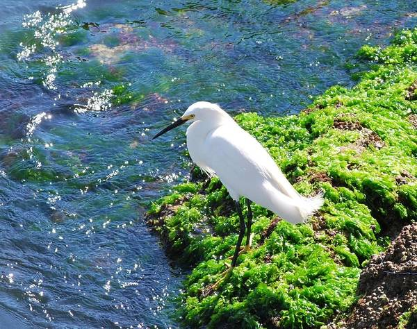 Young Snowy Egret Poster