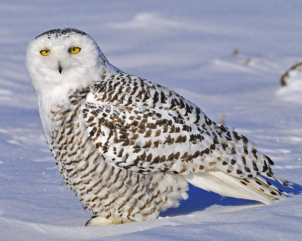Young Snowy Owl Poster