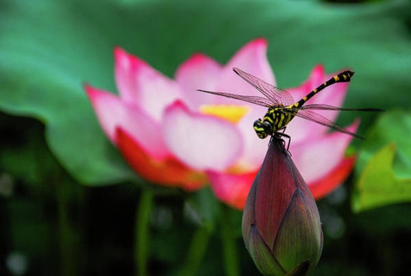 A Dragonfly On Lotus Flower Poster