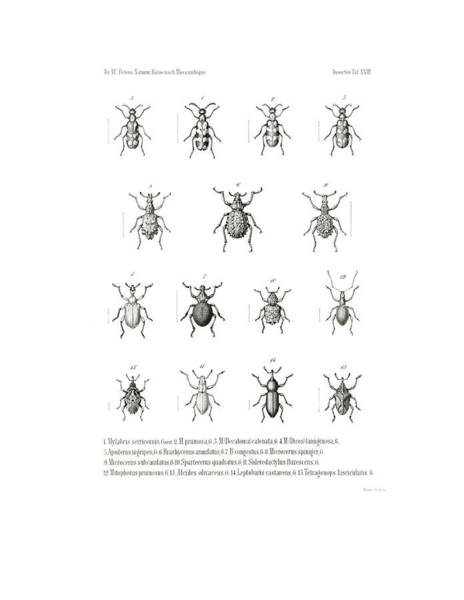 Poster featuring the drawing African Beetles by Bernhard Wienker