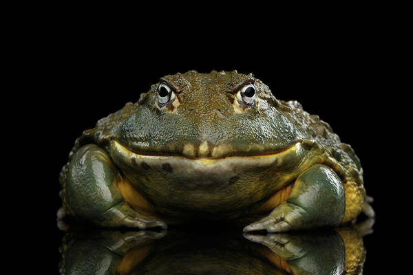African Bullfrog Pyxicephalus Adspersus Frog Isolated On Black Background Poster