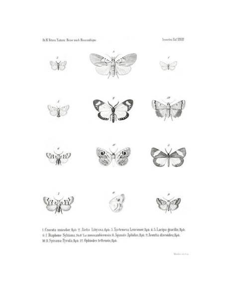 Poster featuring the drawing African Butterflies by Bernhard Wienker