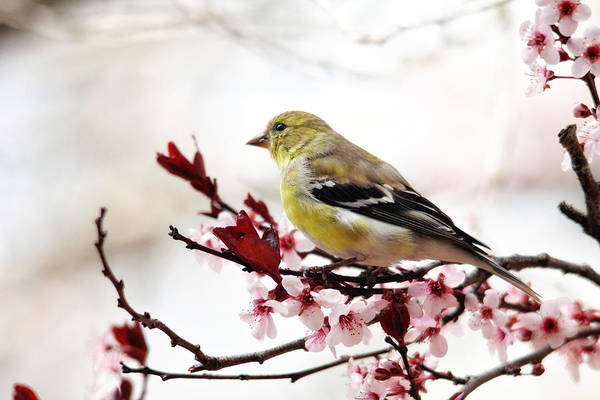 American Goldfinch In Spring Poster