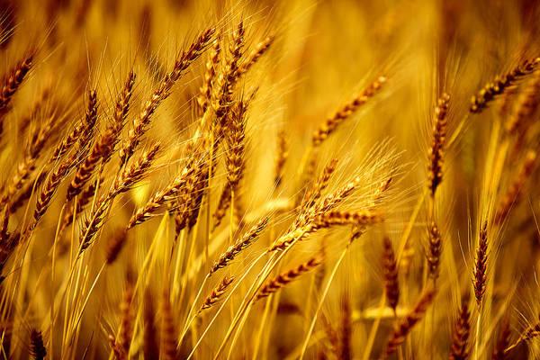 Bearded Barley Poster