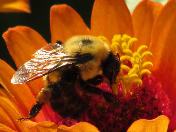 Bee With Zinnia Poster