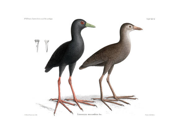 Poster featuring the drawing Black Crake, Zapornia Flavirostra by J D L Franz Wagner