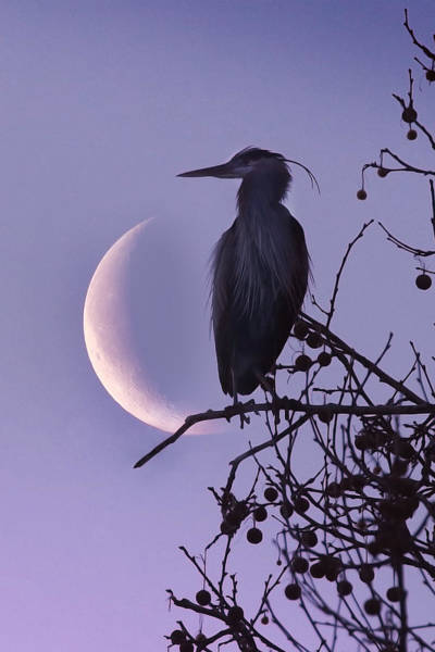 Blue Heron Moon Poster
