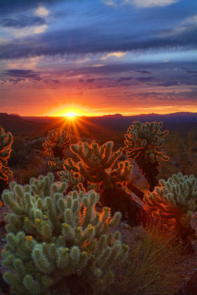 Cholla Sunset  Poster