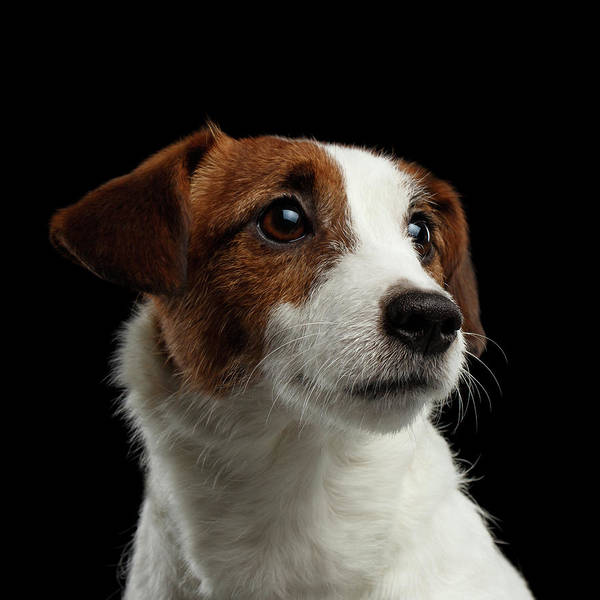 Closeup Portrait Of Jack Russell Terrier Dog On Black Poster