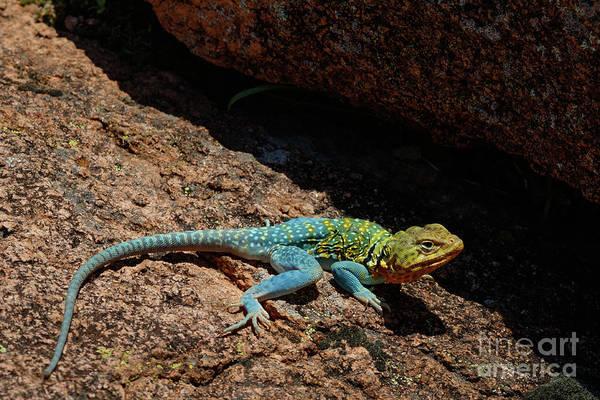 Colorful Lizard II Poster