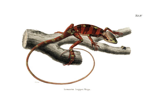 Poster featuring the drawing Eastern Casquehead Iguana, Laemanctus Longipes by Carl Wilhelm Pohlke