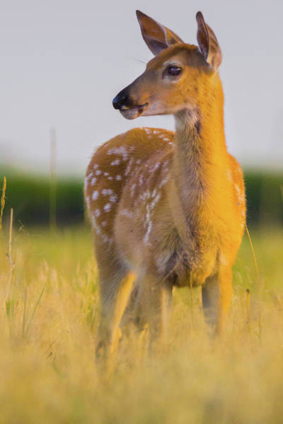 Poster featuring the photograph Fawn In Sunlight by John De Bord