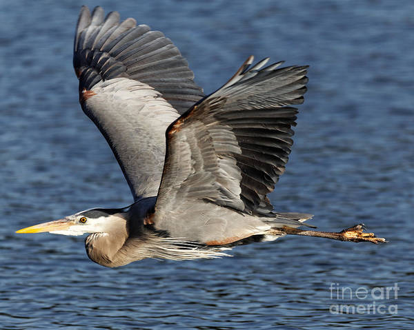 Flight Of The Great Blue Heron Poster