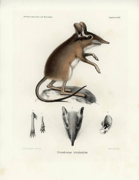 Poster featuring the drawing Four-toed Elephant Shrew by J D L Franz Wagner