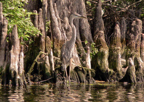 Heron And Cypress Knees Poster