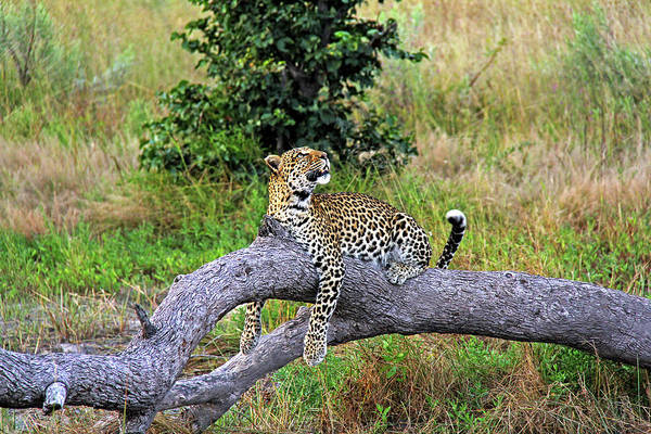 Leopard - Botswana, Africa Poster