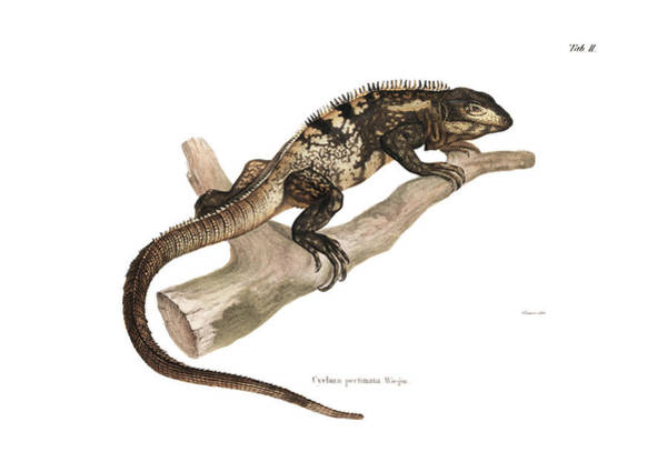 Poster featuring the drawing Mexican Spiny-tailed Iguana, Ctenosaura Pectinata by Elsasser