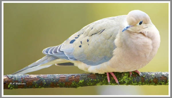 Mourning Dove On Tree Branch Poster