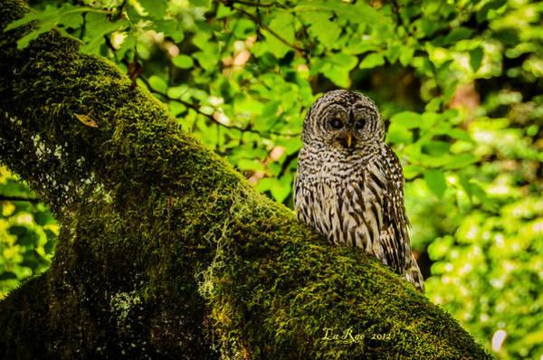 Muir Woods Owl Poster