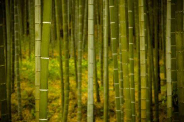 Mystical Bamboo Poster