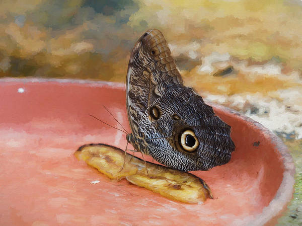 Poster featuring the photograph Owl Butterfly 2 by Paul Gulliver