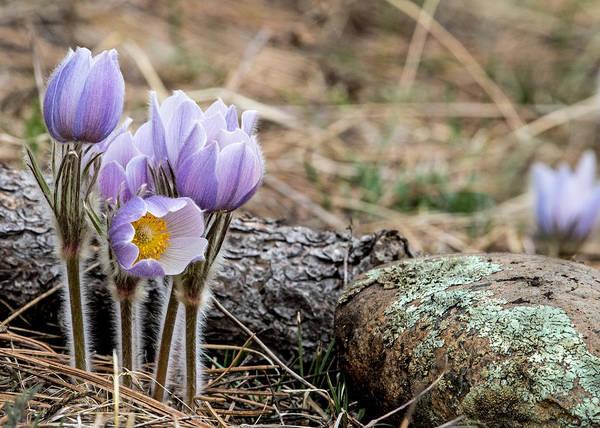 Pasque Flower Poster