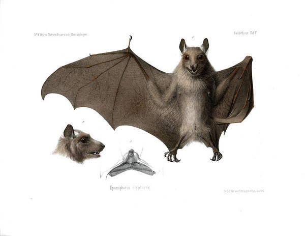 Poster featuring the drawing Peters's Epauletted Fruit Bat by Hugo Troschel