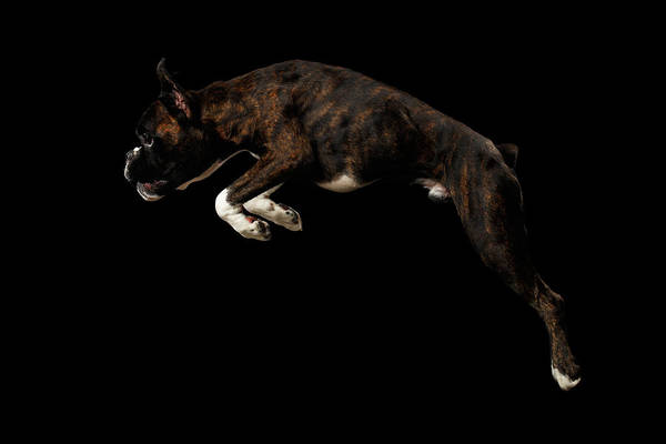 Purebred Boxer Dog Isolated On Black Background Poster