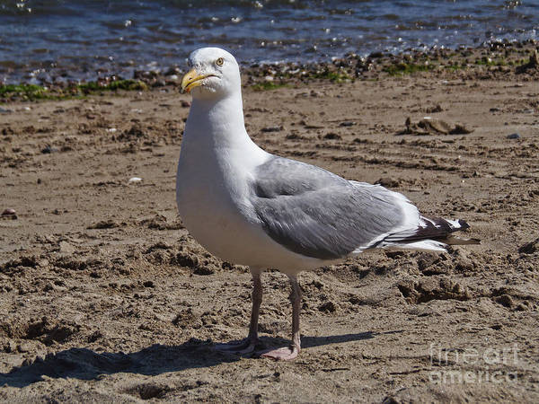 Seagull On Beach Poster