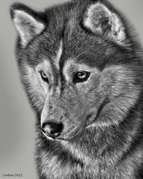 Siberian Husky 2 Poster
