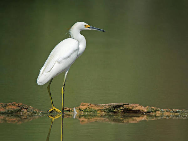 Snowy Egret Poster
