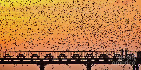 Sunset And Starlings In Aberystwyth Wales Poster