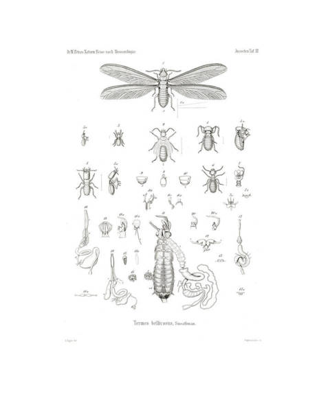 Poster featuring the drawing Termites, Macrotermes Bellicosus by H Hagen