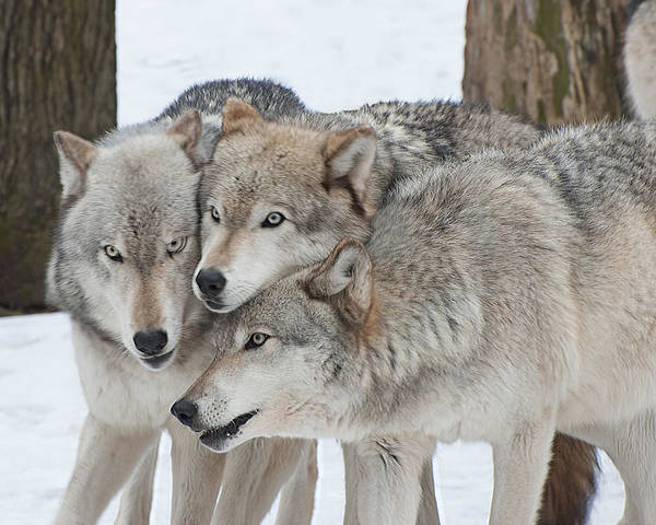 Three Wolves Are A Crowd Poster