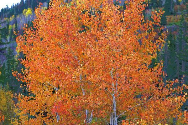 Translucent Aspen Orange Poster