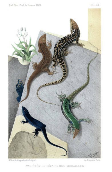 Poster featuring the drawing Varieties Of Wall Lizard by Jacques von Bedriaga