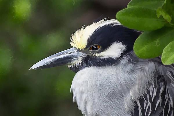 Yellow-crowned Night Heron Poster
