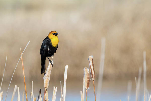 Yellow Headed Blackbird Poster