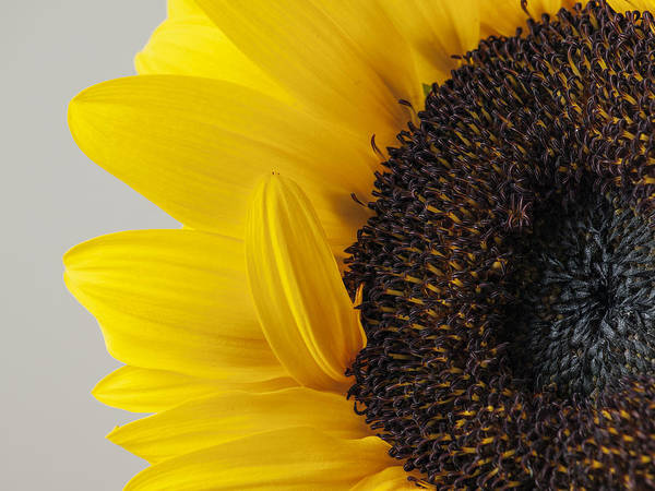 Yellow Sunflower Photograph Poster