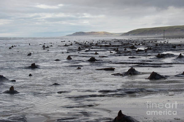 Bronze Age Sunken Forest At Borth On The West Wales Coast Uk Poster