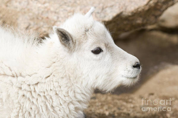 Baby Mountain Goats On Mount Evans Poster