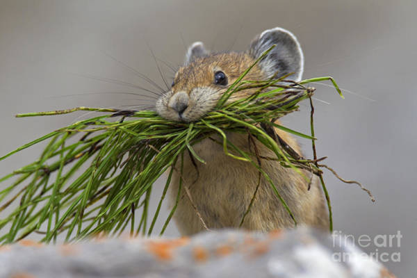 Pika With A Mouthful  Poster