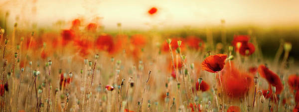 Summer Poppy Meadow Poster