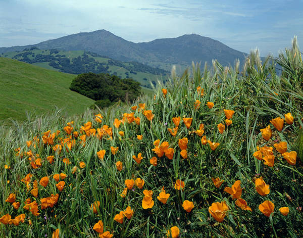 1a6493 Mt. Diablo And Poppies Poster