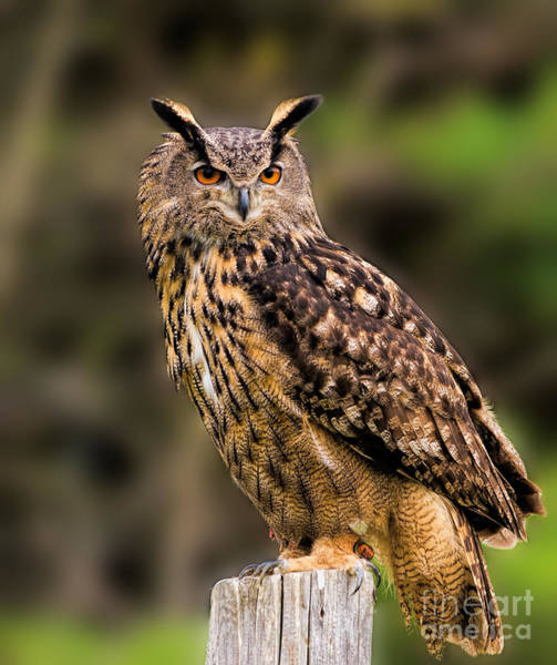 Eurasian Eagle Owl Perched On A Post Poster
