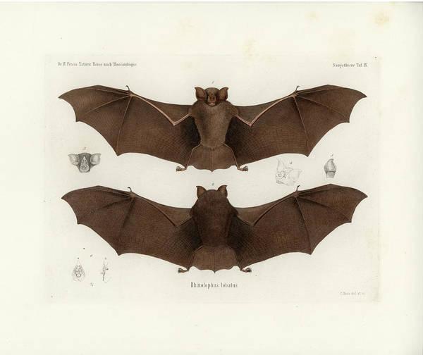 Poster featuring the drawing Lander's Horseshoe Bat, Rhinolophus Landeri by C H Haas